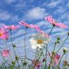 コスモス咲く季節