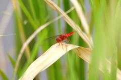 夏の赤トンボ