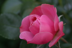 咲き始めのバラ
