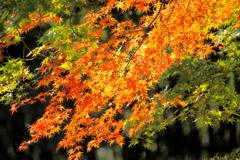 紅葉映える一枝