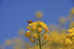 蜂と菜の花