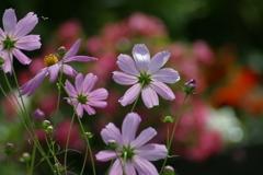 花壇のコスモス