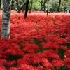 曼珠沙華の森