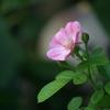 9月のつるバラ