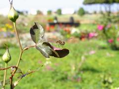 花壇のトンボ
