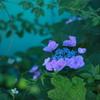 日影の額紫陽花