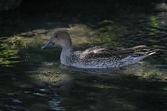 木漏れ日の鴨