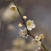 梅花のほころび