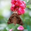 雀蛾の雨宿り