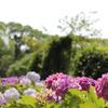 雨を待つ紫陽花①