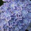 八重紫陽花
