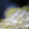 白い紫陽花もいいね^^