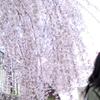 見上げしだれ桜