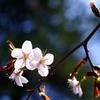 桜はじまりました