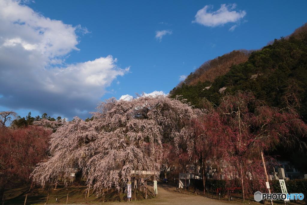 ふりそそぐ桜