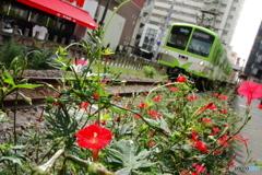 オシロイバナの咲く道