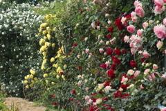 バラがたくさん