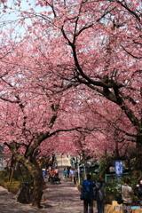春爛漫の安行桜