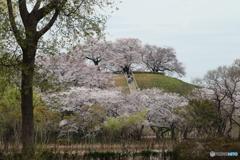 てっぺんの桜