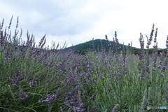 武蔵嵐山・ラベンダー畑