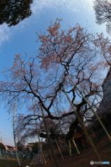 般若院の枝垂れ桜