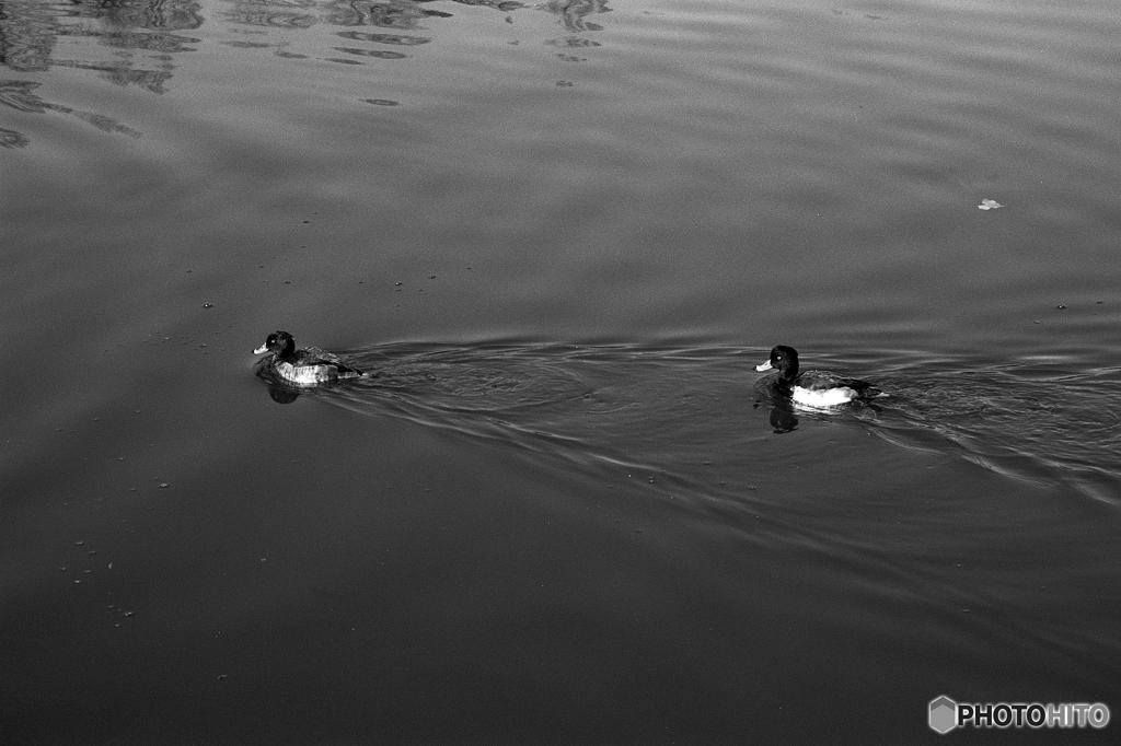 水鳥たちの午後