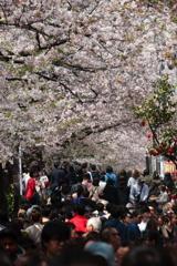 桜フィーバー