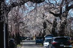 多磨霊園の枝垂れ桜