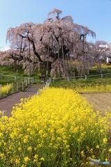 三春・滝桜