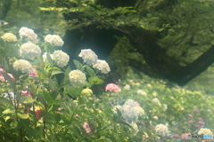 紫陽花の土手