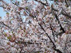 2015 Last Sakura