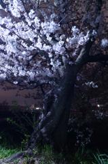 昔からそこにある桜