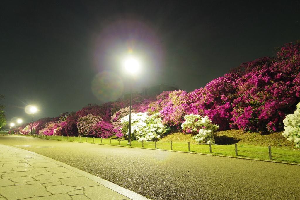 浅香山浄水夜ツツジ