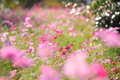 秋桜の宴Ⅱ