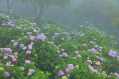 霧中紫陽花