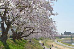 岡山後楽園周辺の桜