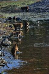 琵琶湖の猿