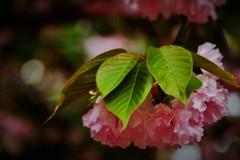 '18桜(葉傘)