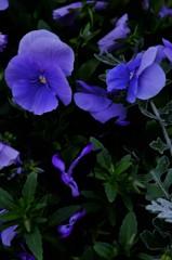 魅力の青紫