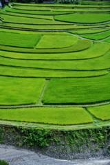 稲のジュータン