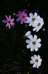 秋桜哀歌ー白き花