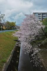 櫻と堀と雲と