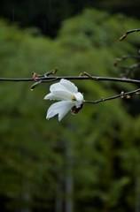 雨の白木蓮