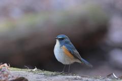 本日はもう一つの青い鳥