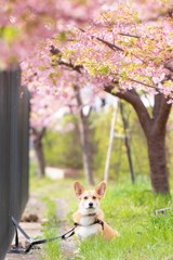 コーギーと河津桜