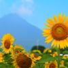 開聞岳と向日葵
