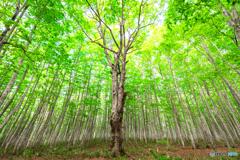 新緑のシンボルツリー(再編集)