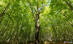 新緑のシンボルツリー