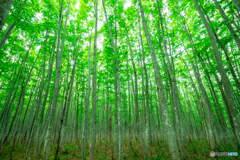 八甲田 新緑のブナ林