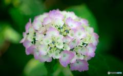 紫陽花-Ⅰ